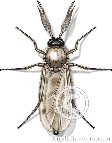 Biting midge illustration Culicoides sp.