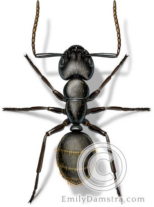 Black carpenter ant – Emily S. Damstra