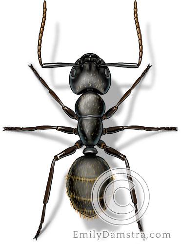Black carpenter ant illustration Camponotus pennsylvanicus worker