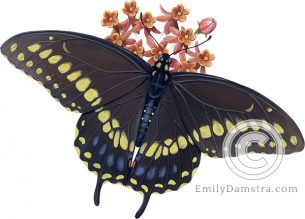 Black swallowtail on Butterfly weed illustration Papilio polyxenes on Asclepias tuberosa