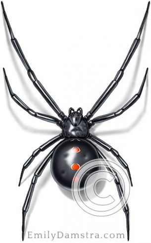 black widow spider illustration Latrodectus variolus