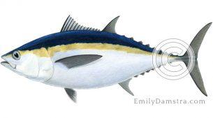 Blackfin tuna illustration Thunnus atlanticus