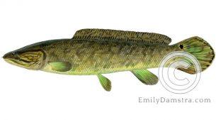 bowfin amia calva illustration
