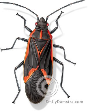 Box elder bug illustration Boisea trivittata