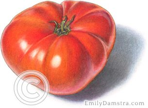 Brandywine tomato – Emily S. Damstra