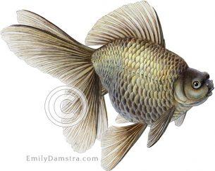 Bronze fantail goldfish illustration