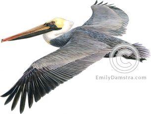 Brown pelican illustration Pelecanus occidentalis