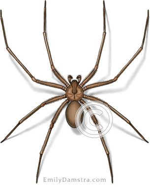 Brown recluse spider illustration Loxosceles reclusa