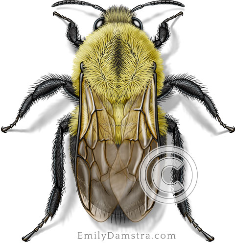 Bumble bee illustration Bombus impatiens