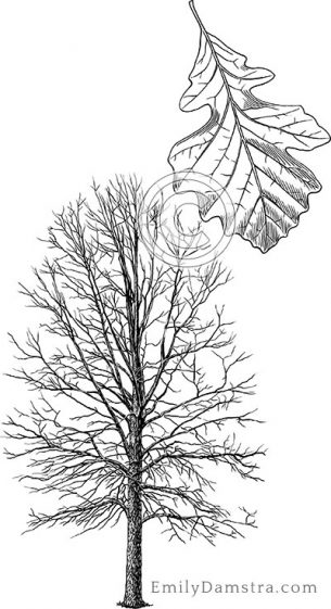 Bur oak – Emily S. Damstra