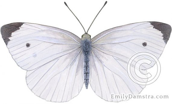 Cabbage white butterfly illustration Pieris rapae