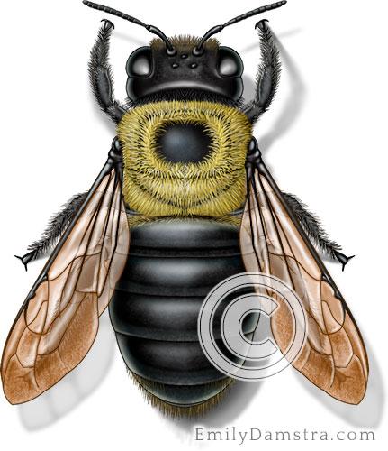 Eastern carpenter bee illustration Xylocopa virginica female