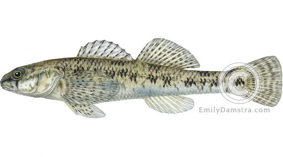 johnny darter Etheostoma nigrum illustration