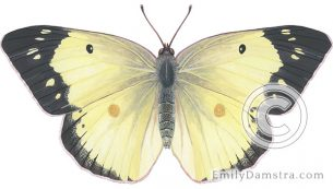 Clouded sulphur butterfly illustration Colias philodice