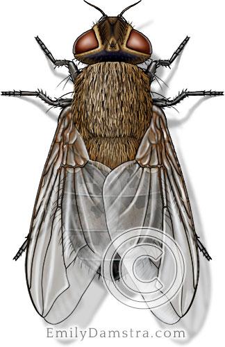 Cluster fly illustration Pollenia rudis female