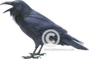 Common raven illustration Corvus corax