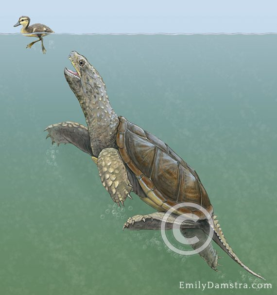 illustration of common snapping turtle hunting duckling