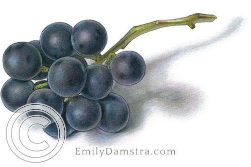 Coronation grapes illustration