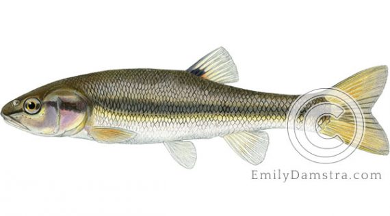 Creek chub Semotilus atromaculatus illustration