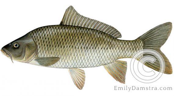 Common carp Cyprinus carpio illustration