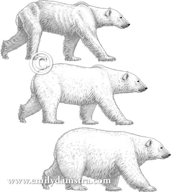polar bear illustrations