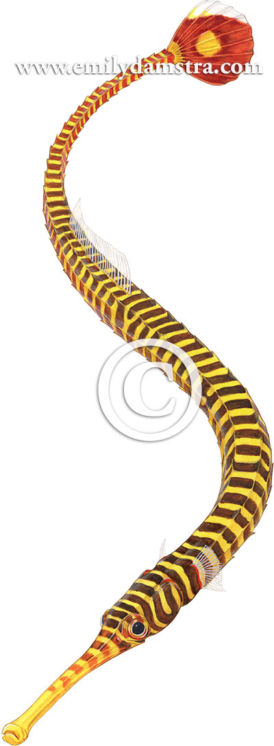 Illustration of Yellow-banded pipefish © Emily S. Damstra