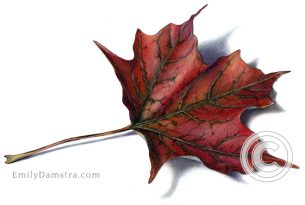 Deep red fall maple leaf – Emily S. Damstra
