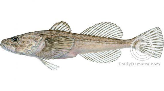 Deepwater Sculpin Myoxocephalus thompsoni illustration