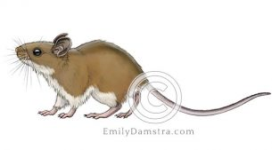 North American deer mouse – Emily S. Damstra