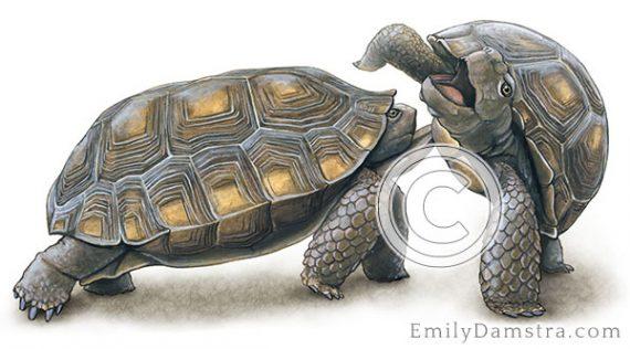 Desert tortoises jousting illustration
