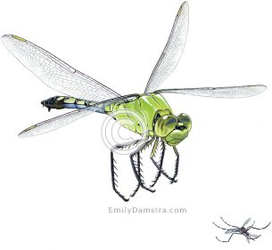 Eastern pondhawk dragonfly chasing Asian tiger mosquito – Emily S. Damstra