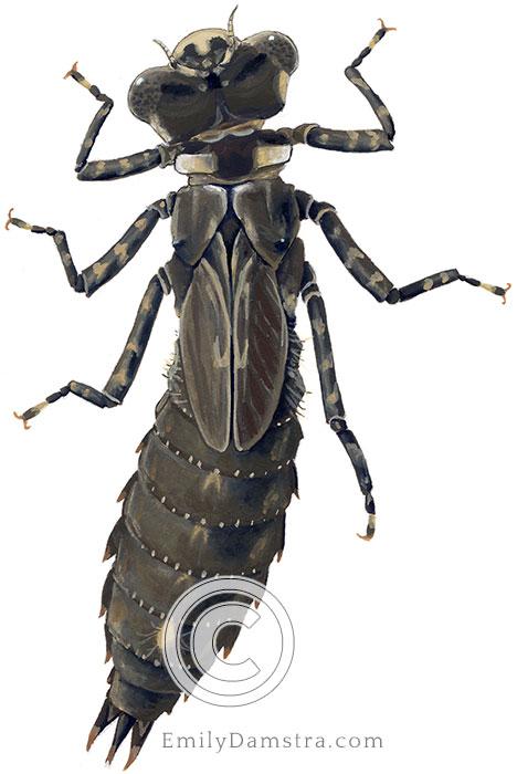 Dragonfly larva illustration