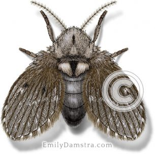 Drain fly illustration Clogmia albipunctata