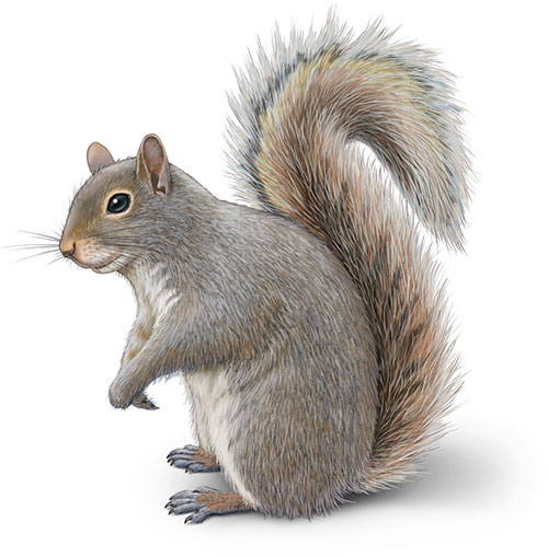 Eastern gray squirrel illustration Sciurus carolinensis