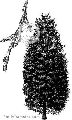 Eastern red cedar – Emily S. Damstra