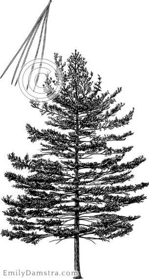 Eastern white pine – Emily S. Damstra