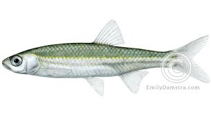Emerald shiner – Emily S. Damstra