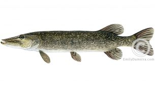 Northern pike Esoc lucius illustration