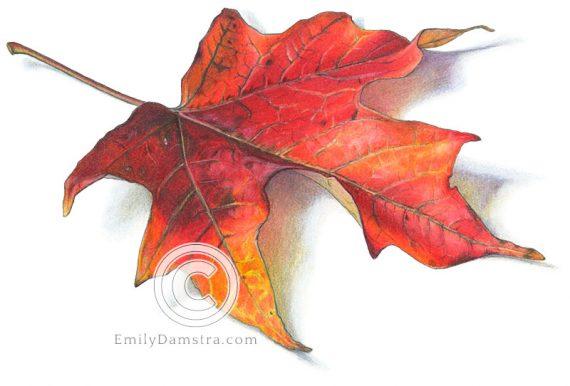 red Sugar maple leaf illustration