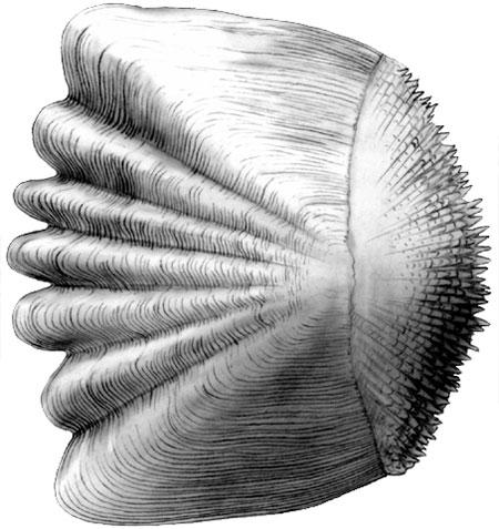 Ctenoid scale of a bony fish (Yellow perch) illustration