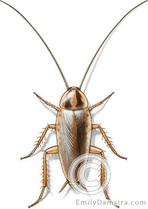German cockroach – Emily S. Damstra