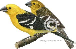 Golden-bellied grosbeaks – Emily S. Damstra