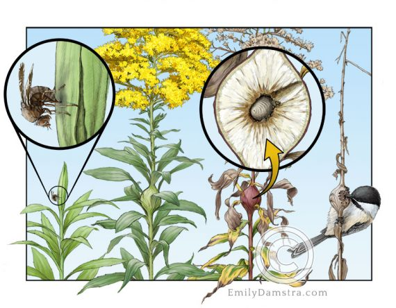 goldenrod gall fly life cycle and tall goldenrod Eurosta solidaginis