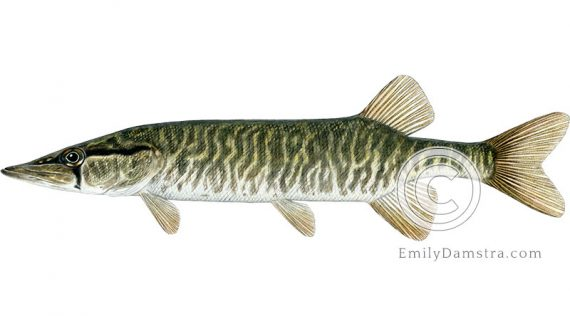 Grass pickerel illustration Esox americanus