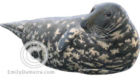 Gray seal Halichoerus grypus illustration