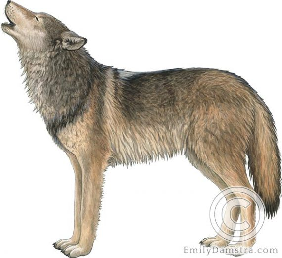 gray wolf Canis lupus illustration