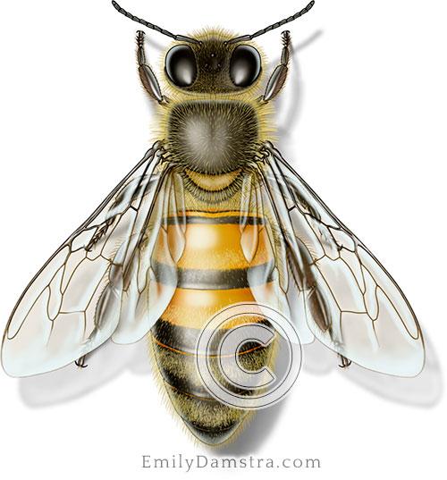 Honeybee illustration Apis mellifera