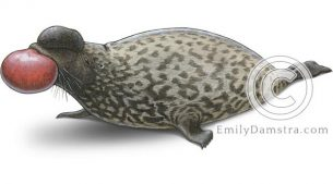 Hooded seal male – Emily S. Damstra