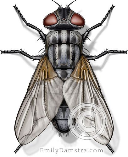 House fly illustration Musca domestica female