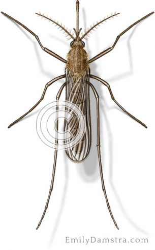 House mosquito illustration Culex pipiens